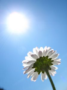 531444_daisy_in_the_sun