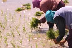 rice-planters-1_l