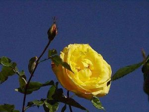 Balboa_park_yellow_roses_garden-small