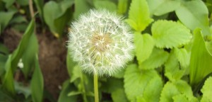 dandelion-411368_640