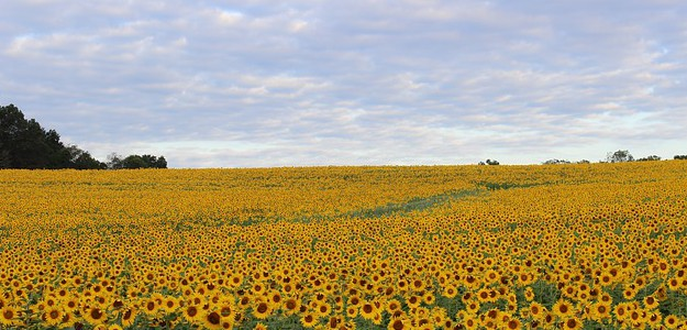 sunflower-450232_640