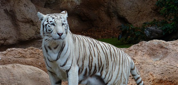 white-bengal-tiger-407027_640