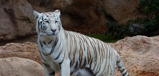 white-bengal-tiger-407027_640