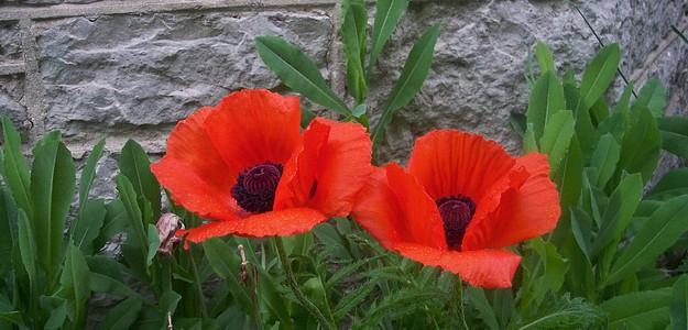 poppies-15923_640