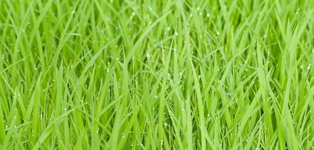 rice-field-387715_640