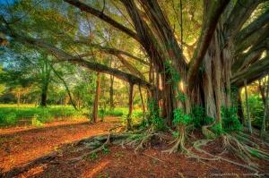 Large Banyan Tree at Riverbend Park Jupiter Florida