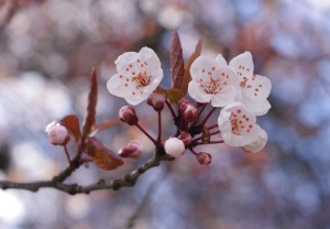 Cherry_blossoms_in_Vancouver_3_crop