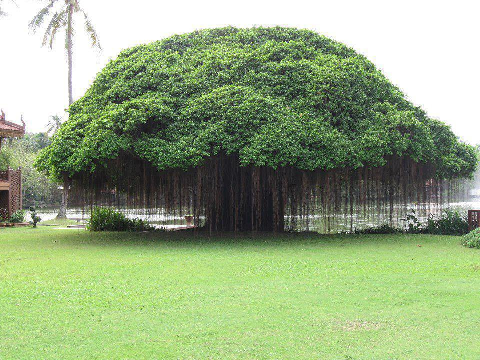 Benefits-of-Banyan-tree.jpg